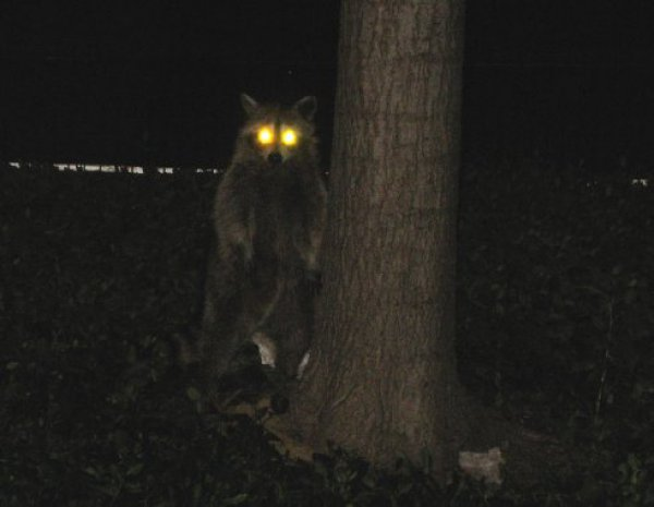 2035230179387111bf1dd1de64cd708b-evil-raccoon.jpg